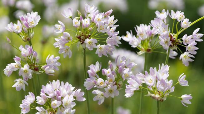 Prydløg (Allium)
