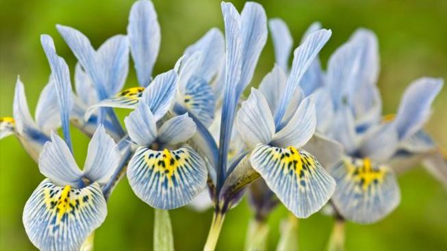 buy iris bulbs online at bulbi bulbi nl