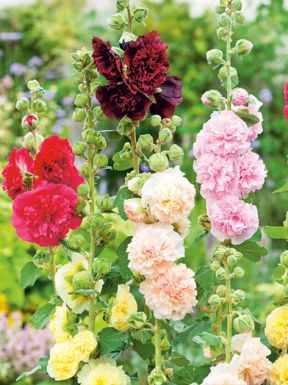 Alcea rosea mixed