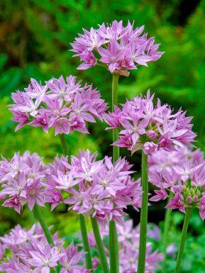Eros unifolium