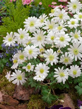 White splendour blanda