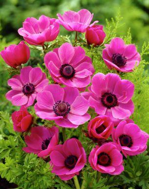 Sylphide de caen - rose