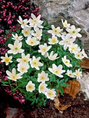 Nemorosa white