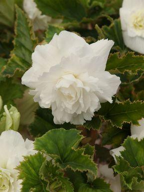 Pendula white