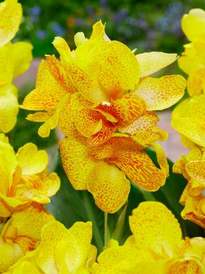 Canna yellow king humbert
