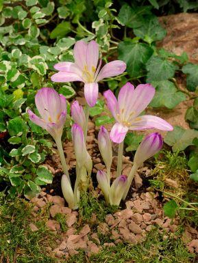 Colchicum byzantinum