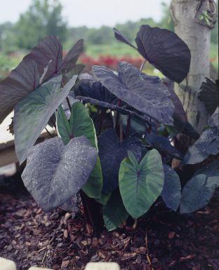Colocasia black magic esculenta
