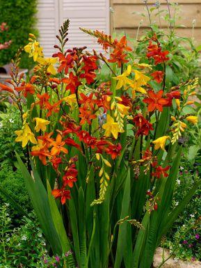 Crocosmia small flowering mixed