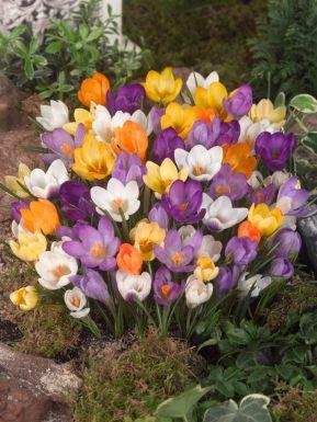 Chrysanthus mixed