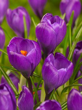 Flower record grootbloemig