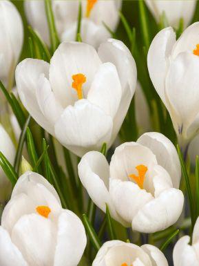 Jeanne d'arc large flowering