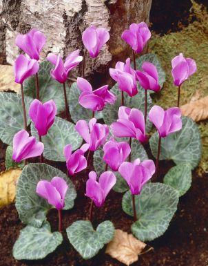 Cyclamen coum