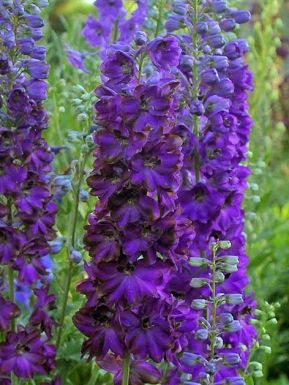 Delphinium magic fountain dark bee