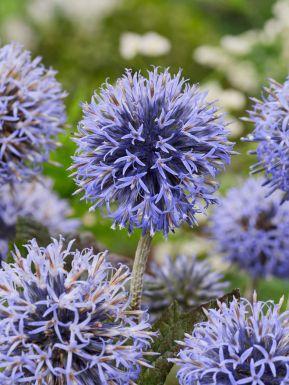 Echinops veitch's blue ritro