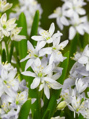 Scilla mischt. tubergeniana