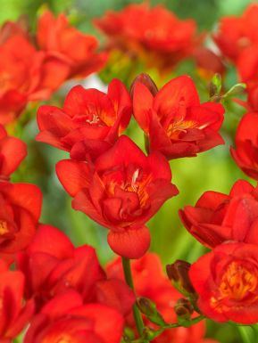 Freesia dubbel rood