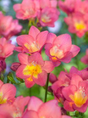 Freesia roze enkel