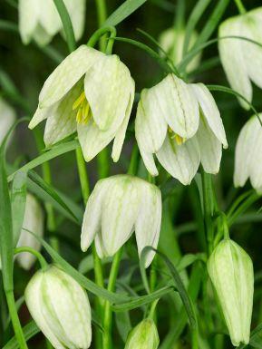 Fritillaria meleagris alba