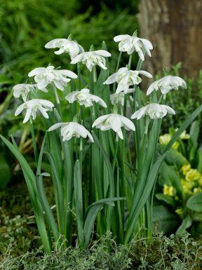 Galanthus nivalis flore pleno
