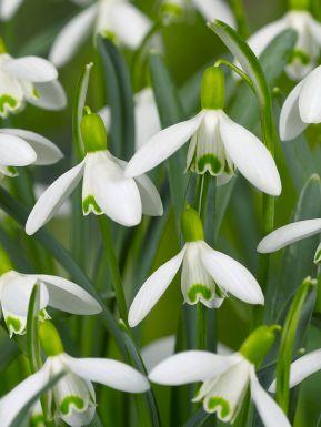 Galanthus nivalis single flowering