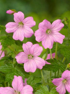 Geranium wargrave pink endressii