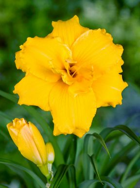 Hemerocallis stella d'oro