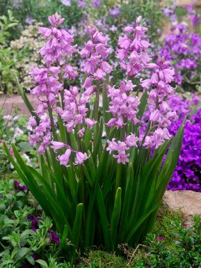 Hyacinthoides hispanica roze