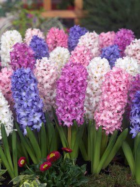 Hyacinths mixed