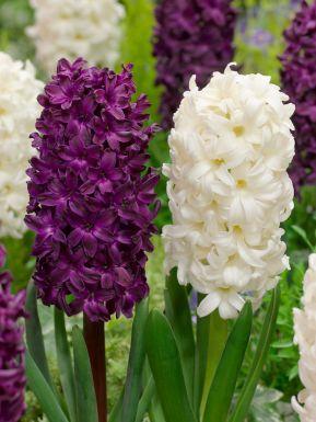 Blanco-violeta mezclado