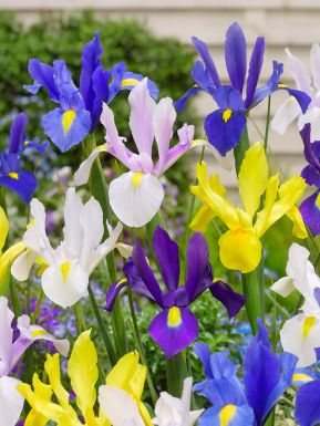 Iris mixed hollandica