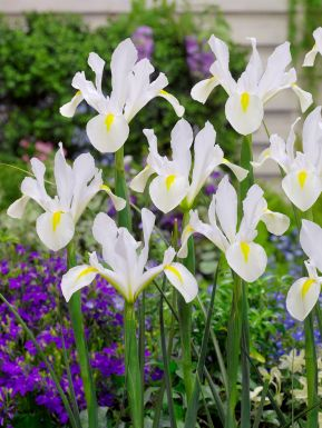 Iris white van vliet hollandica