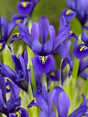Iris harmony reticulata