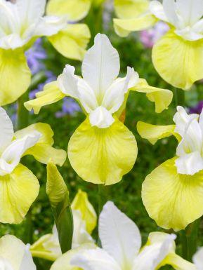 Iris butter & sugar sibirica