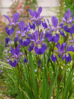 Iris ceasars brother sibirica