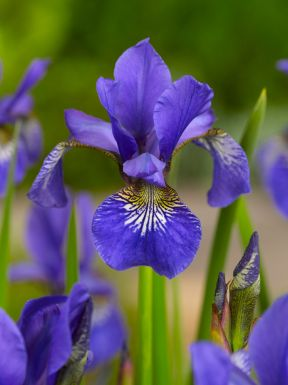 Iris ceasars brother sibirica