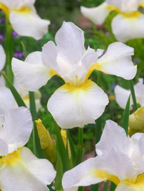 Iris dreaming orange sibirica