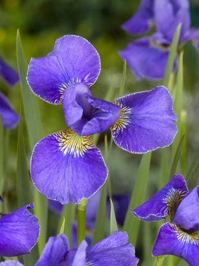 Iris silver edge sibirica