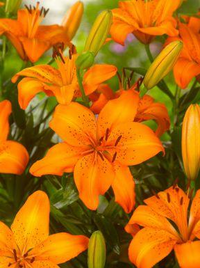 Asiatic orange