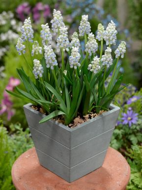 Muscari peppermint armeniacum