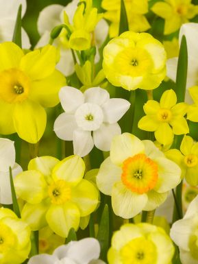 Narcis specie gemengd