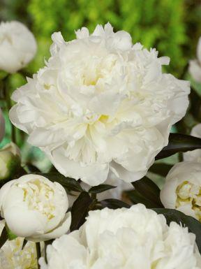 Paeonia duchesse de nemours