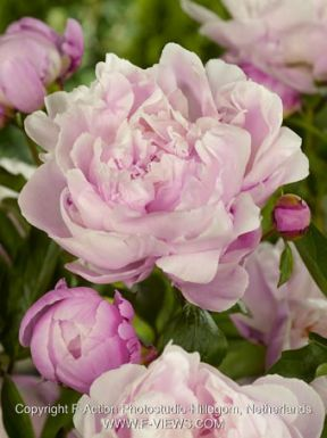 Paeonia lady alexander duff
