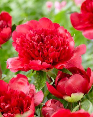 Paeonia many happy returns
