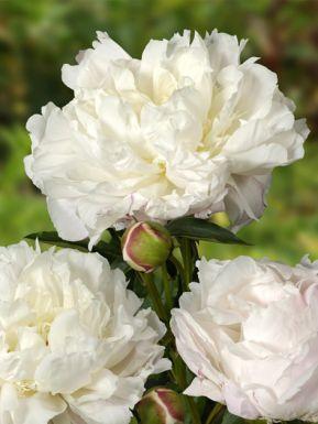 Paeonia lactiflora shirley temple
