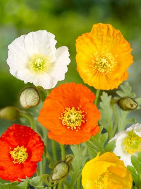 Papaver mixed