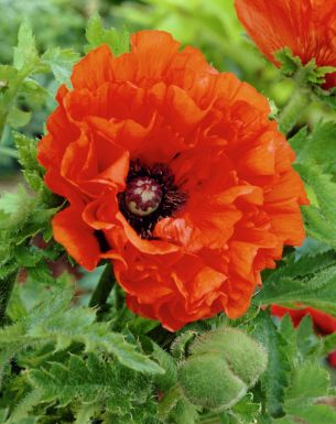 Papaver may queen