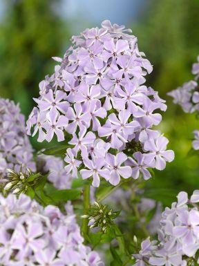Phlox lilac time