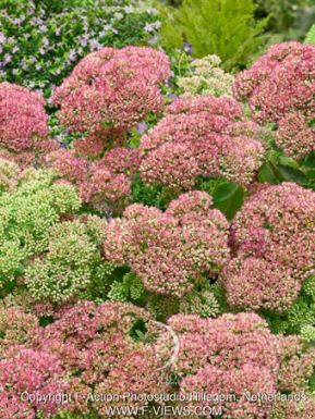 Sedum herbstfreude (autumn joy)