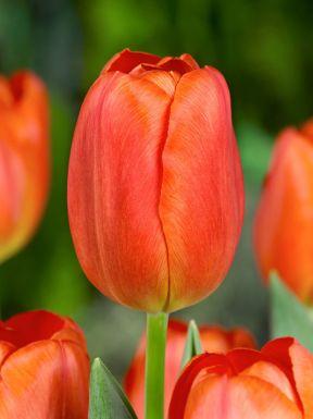 Orange cassini
