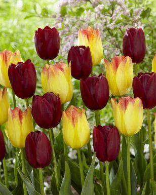 Suncatcher & national velvet mix